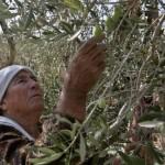 La recogida de la aceituna en Palestina, algo más que una actividad económica